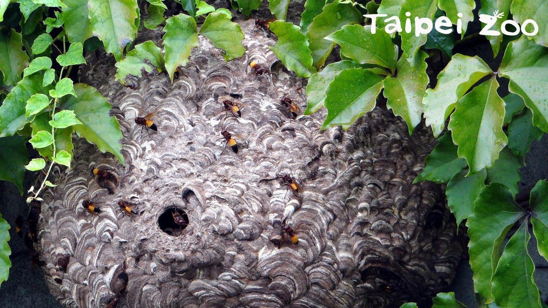 發現蜂窩記得靜靜的離開,不要讓蜜蜂認為你有敵意 圖:台北市立動物園/提供
