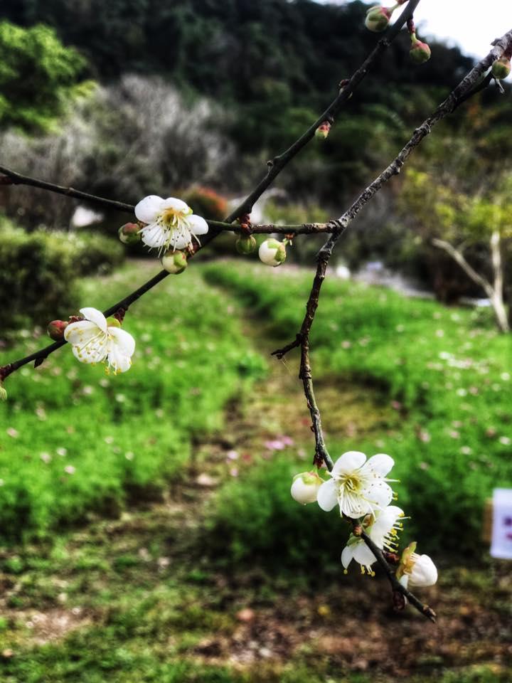 棲蘭山莊的梅樹大多已經有50年歷史。圖:翻攝自棲蘭國家森林遊樂區臉書