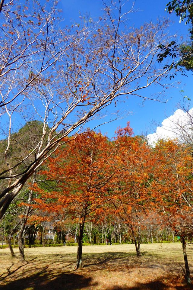 奧萬大因為位於山上,落羽松紅得時間較早,現在部分樹木已經進入最佳觀賞期。圖:翻攝自奧萬大情報站