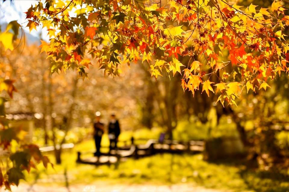 武陵農場仍有幾株楓紅可以欣賞。圖:翻攝自武陵農場臉書