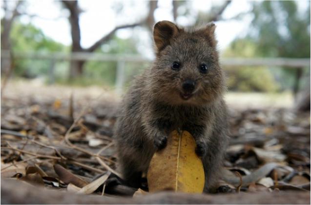 西澳的Qquokka是短尾矮袋鼠,號稱最快樂的動物,短短的四肢和毛茸茸身軀迷倒不少人。圖:翻攝自Rottnest Island,Western Australia臉書