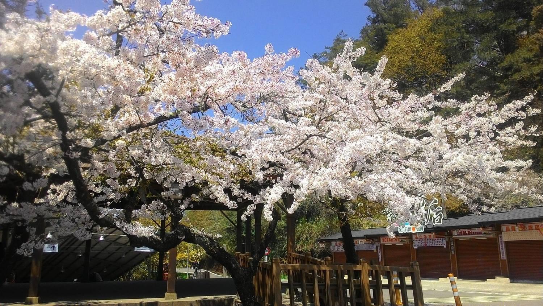 阿里山櫻花季落在3月~4月,目前迷糊步道山櫻花、白櫻花及河津櫻花皆已陸續綻放。圖:翻攝自阿里山國家森林遊樂區臉書(資料照)