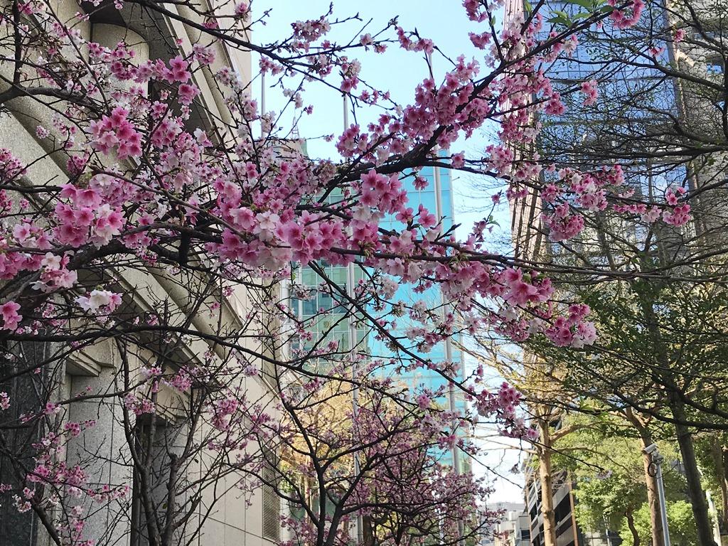 台北中山北路街頭綻放美麗櫻花。 圖/朱蒲青攝