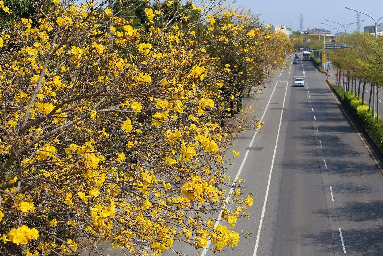 彰化溪州台一線沿路種植數公里的黃花風鈴木,雖不如嘉義密集繁茂,卻也是公路上難得的美景。 圖:翻攝自愛玩彰化臉書