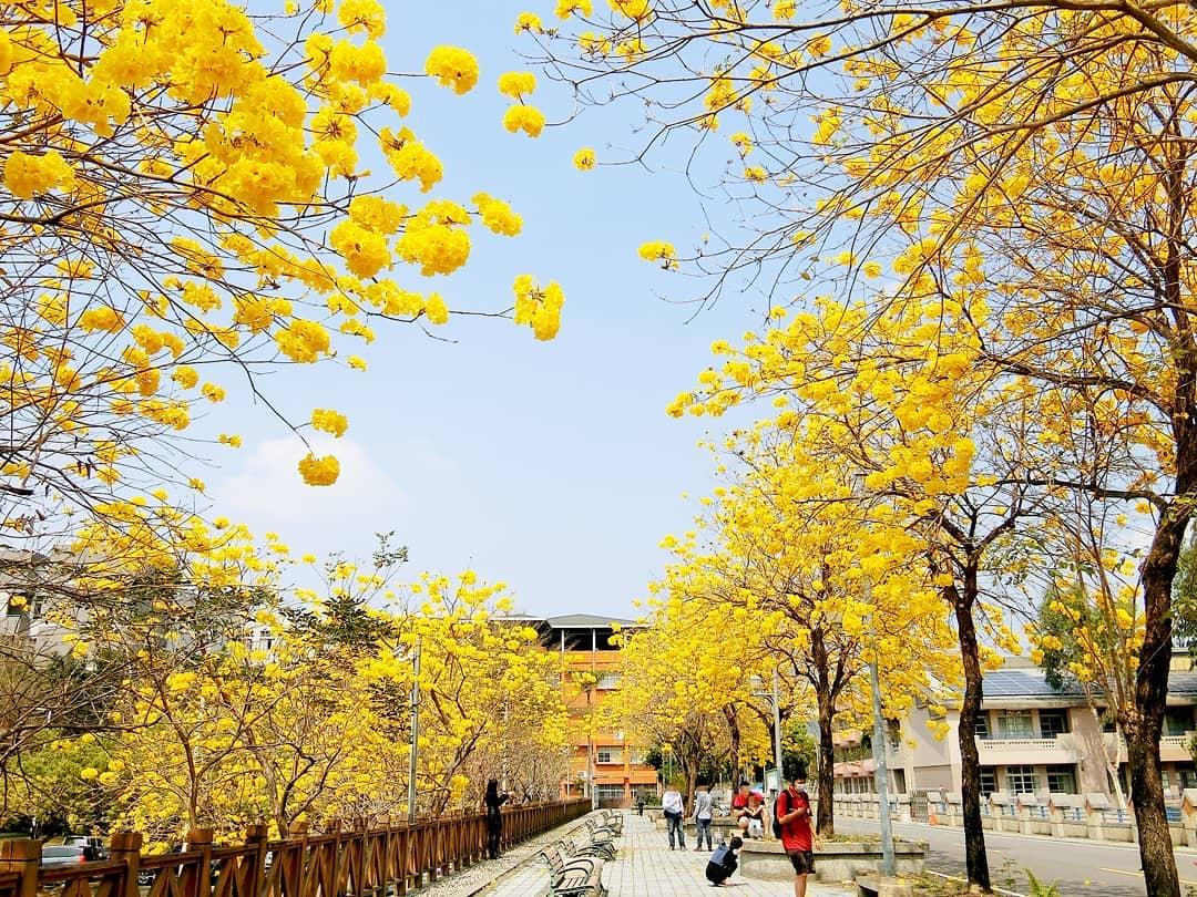 鄰近南開科大、富功國小的富昌路今年黃花炸裂,成為當地小規模的黃金大道。 圖:IG@xiaomao_xiaomao/攝影授權