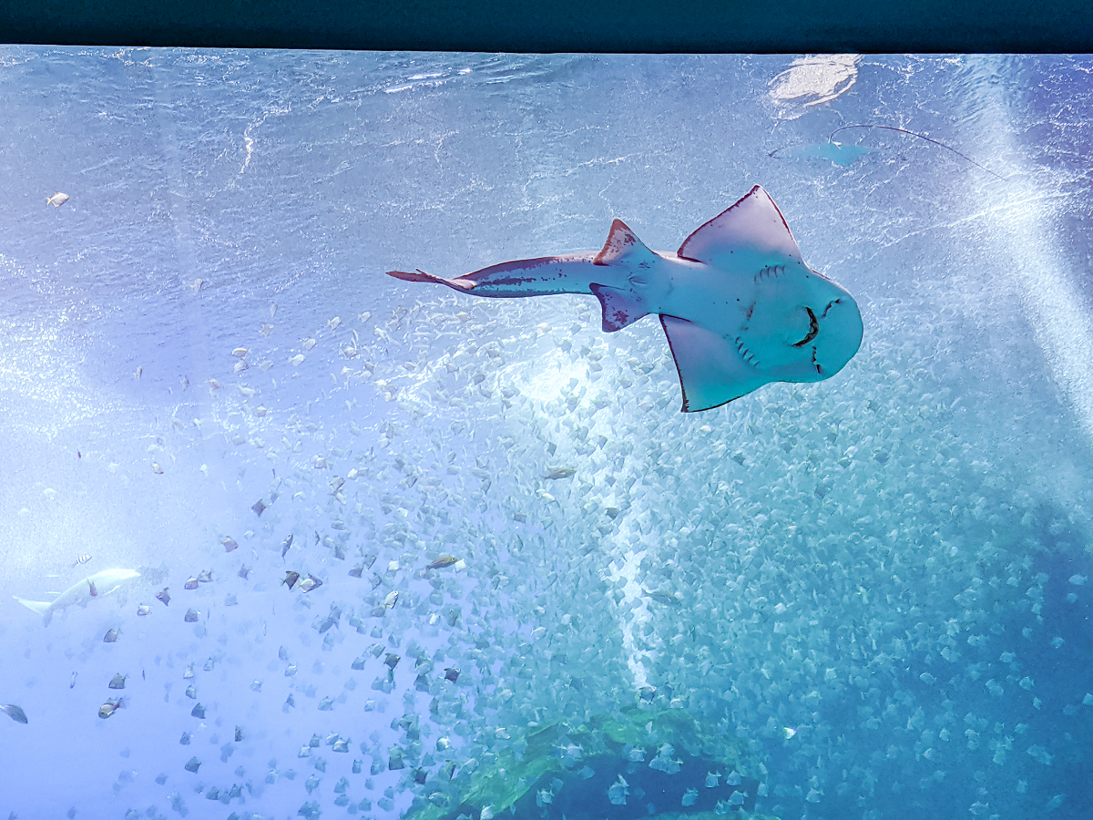 ㄚ髻鮫、大尾虎鮫等生物在眾人面前悠遊。 圖:謝佳真/攝