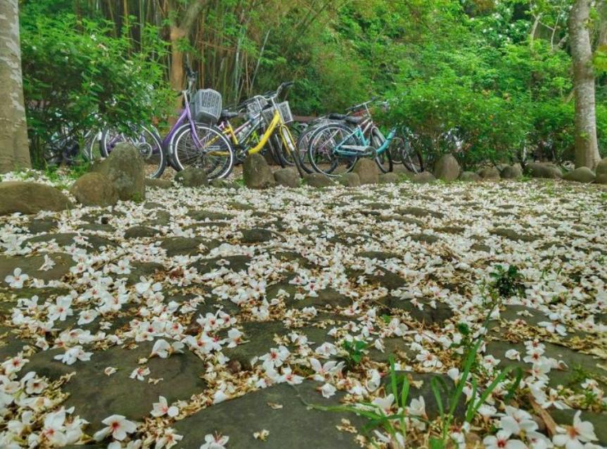 桃園市三坑自行車道油桐花灑落一地,如白雪般。圖:取自客家桐花祭官網