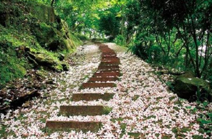 苗栗縣四月雪小徑油桐花灑滿步道。圖:取自客家桐花季官網