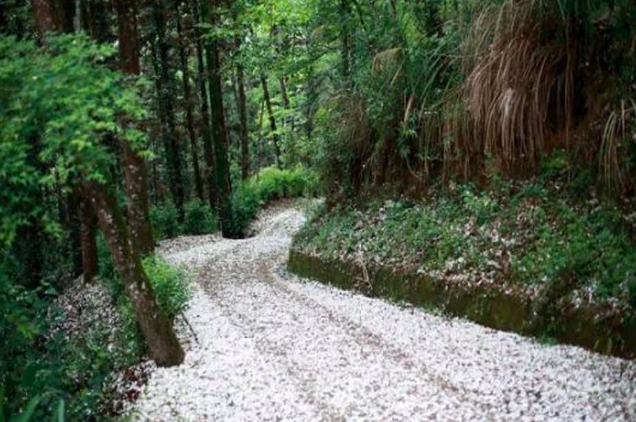 台中市東勢林場每到春季,油桐花盛開遍佈山野。圖:東勢林場/提供