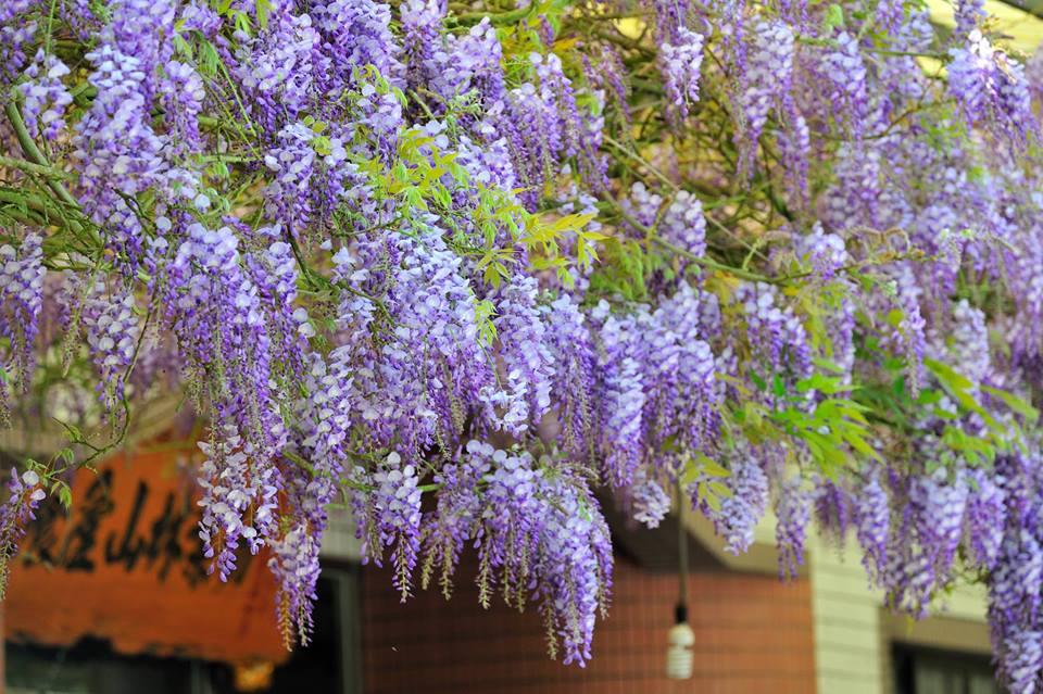 嘉義瑞里紫藤花。圖:翻攝嘉義瑞里臉書