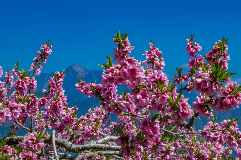 福壽山農場水蜜桃園內桃花的盛開美景,不只壯觀也相當迷人。圖:取自福壽山農場粉絲專頁