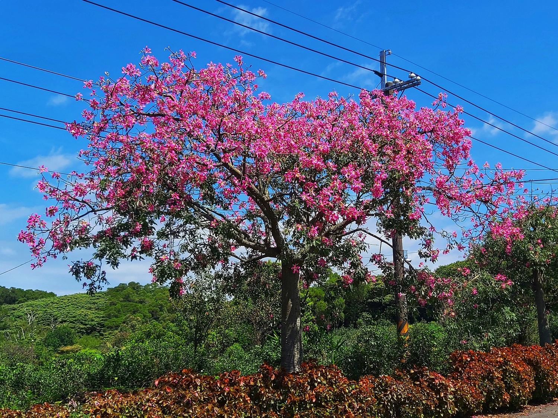 探訪粉紅秘境!淡水美人樹大道5.5公里燦爛盛開中