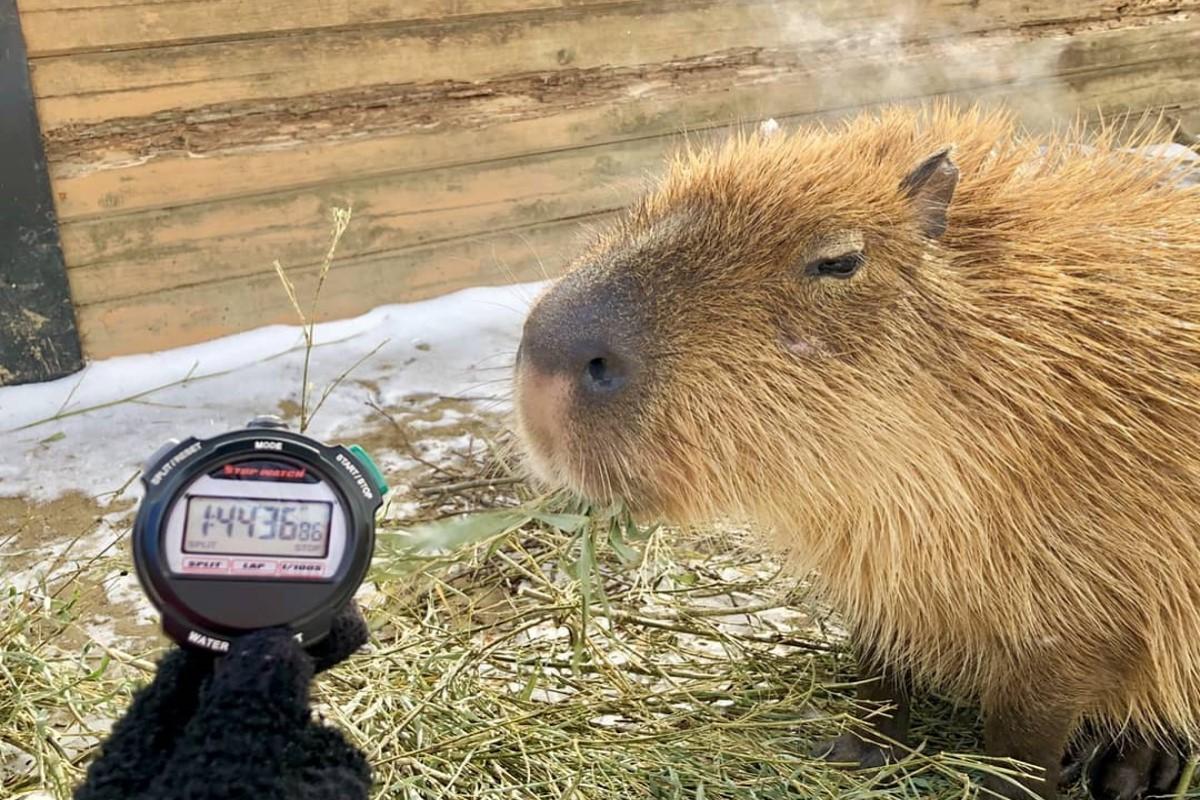 日本五間動物園在月初時進行第九屆水豚泡湯大賽,比賽結果由「那須動物王國」的水豚君「コブ科布」奪冠!圖/IG@nasu_animal_kingdom