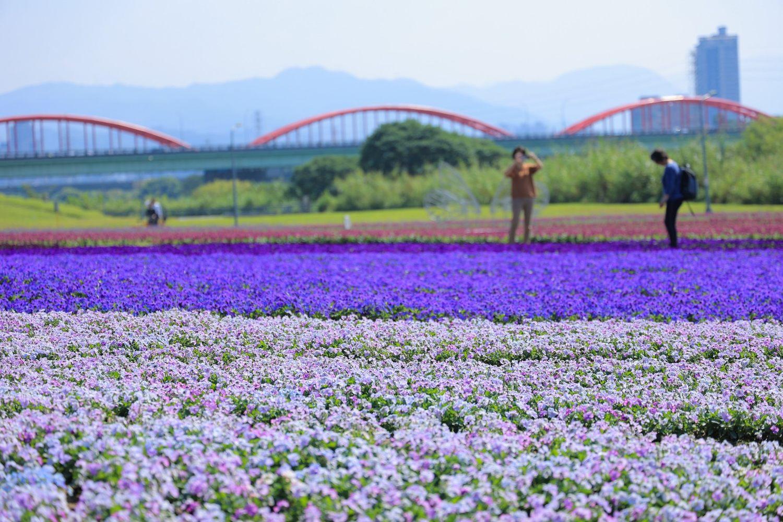 古亭河濱紫色花海打造出媲美日本芝櫻般綿延不絕的地毯花海。圖:取自台北市政府全球資訊網
