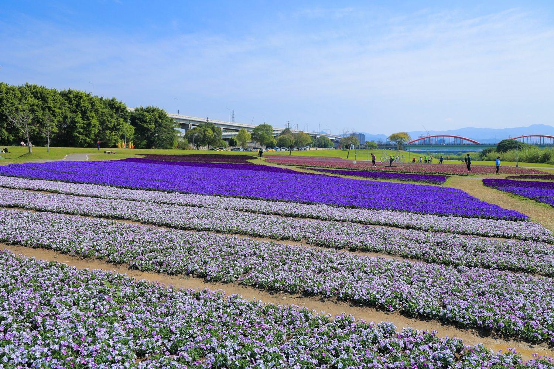 古亭河濱花海透過不同質感的紫色花朵為大地妝點浪漫色彩。圖:取自台北市政府全球資訊網