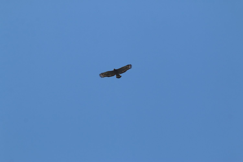 目前臺灣有正式記錄的猛禽超過三十種,絕大多數都是遷徙性猛禽,只有少數種類是不遷移的留鳥,如「揮~揮~揮~」叫聲的大冠鷲。圖:台北市水利局/提供